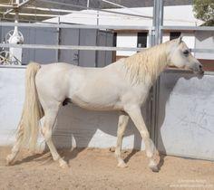 Arabian Stallion. Al-Marah Arabian Horses. Tucson, AZ. March 18, 2014. Photo by Andrea Arden. AM Power Raid