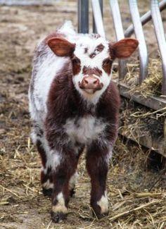 Calf... How cute is he @Pamela Hichens Marquardt McIntosh @Kelly Teske Goldsworthy Dawn @Dana Curtis McIntosh ????