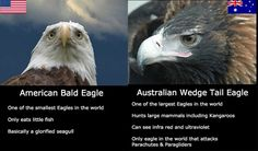American Bald Eagle VS Australian Wedge Tail Eagle See more Funny pictures Be sure to share this post with your friends on social media before you
