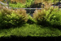 ADA Aquasky 602 bring in some red of Rotala Wallichii and Indica