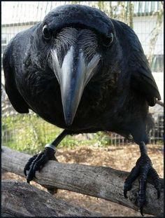 remarkable raven