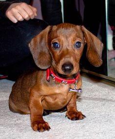 Free daily dachshund pictures / doxie pictures and dachshund resources Dachshund Puppies, Weenie Dogs, Corgi Dog, Cute Puppies, Doggies, Puppies Puppies, Chihuahua Dogs, Pet Dogs, Pets