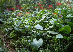 龍船花_馬鞭草科 Plants, Plant, Planets