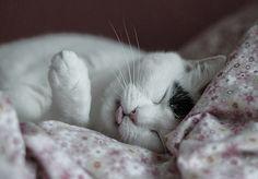 {sleepy kitty tongue!} by ooppssyy, via Flickr