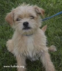 Hendrix is an adoptable Cairn Terrier Dog in Atlanta, GA. I'm Hendrix and I was just rescued by SmallDog Rescue! Now I have a chance at a forever home. I'm a Cairn Terrier/Shih Tzu mix and 6 months ol...