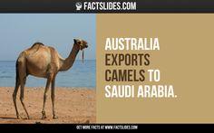 Australia exports camels to Saudi Arabia.