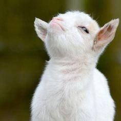 Smug little bastard of a goat. Smug little bastard of a goat. Cute Baby Animals, Farm Animals, Animals And Pets, Funny Animals, Nature Animals, Animal Memes, Wild Animals, Baby Goats, Tier Fotos
