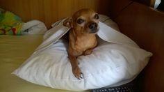 Ciaoo #pincher #toy #dog #mini #ciao