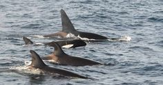 A FIRST ID MATCH FOR THE ORCAS OF THE INDIAN OCEAN: http://uk.whales.org/blog/2015/11/first-id-match-for-orcas-of-indian-ocean