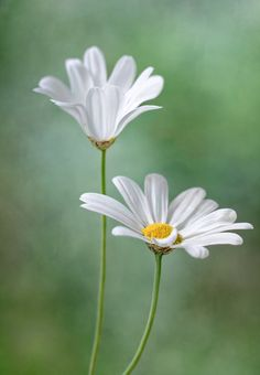 Daisy duo by Mandy Disher Amazing Flowers, White Flowers, Beautiful Flowers, Beautiful Pictures, Sunflowers And Daisies, Daisy Love, Daisy Daisy, Motif Floral, Gerbera