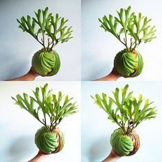 2017/02/17 . おはようございます だいぶフサってきたな! . #ridleyi #platycerium #staghornfern #staghornferns #plantlife #fern #green #plants #plantlife #NoFilter #リドレイ #ビカクシダ #instaplant