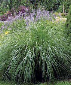 """Another fantastic grass that is 5-6 feet tall: """"Morning Light"""" miscanthus."""