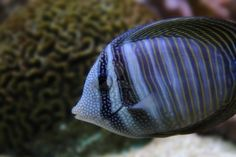 Exotic Sea Fish On The Aquarium Background Royalty Free Stock Photo, Pictures, Images And Stock Photography. Image 12893978.