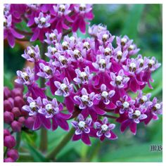 Swamp milkweed (Asclepias incarnata) works well as a container milkweed and attracts butterflies with its pinkish, nectar-rich-blooms, while its leaves sustain munching monarch caterpillars. Which other milkweed varieties perform well in pots? Check out 6 more options here:http://ow.ly/MZs530gPRxh