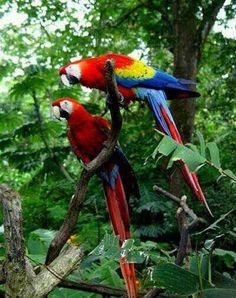 Macaws Guacamaya Bandera de venezuela More