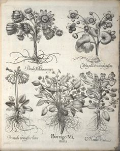 Heaveninawildflower Yellow Pheasant's Eye, Marsh Marigold, Cowslip, Creeping Forget-Me-Not, Heartsease.  Plate from 'Hortus Eystettensis' by Basilius Besler (1561-1629). Published 1640.  Biodiversity Heritage Library.  archive.org