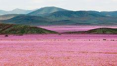 Un tapis de fleurs rose a recouvert le sol aride du désert d'Atacama, au Chili, après de fortes précipitations