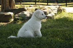 Maremma puppy - Juniper Moon Farm