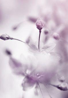 Shades of lavender and lilac . Purple Love, All Things Purple, Purple Rain, Shades Of Purple, Soft Purple, Pink Blue, Purple Flowers, Beautiful Flowers, Plantas Bonsai