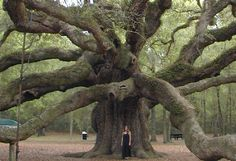 """""""Reportedly the oldest thing -- living or man-made -- east of the Rockies, Angel Oak is a live oak tree (Quercus virginiana) aged approximately 1,500 years."""" While only 65 feet tall, Angel Oak has a diameter of spread reaching 160 feet. It can be found on John's Island, South Carolina. Read more: http://www.angeloaktree.org/history.htm"""