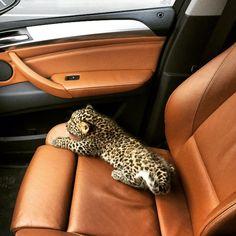 Leopard it is soooooo small and cute! Cute Creatures, Beautiful Creatures, Animals Beautiful, Cute Baby Animals, Animals And Pets, Funny Animals, Exotic Pets, Cute Puppies, Cute Cats