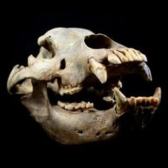 Cave Bear Skull - Fossilized