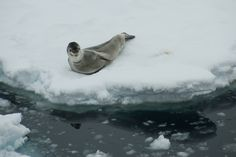 Leopard seal in the Lemaire Channel, Antarctica