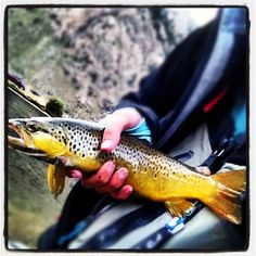 Going to town on the brown trouts! Flyfishing