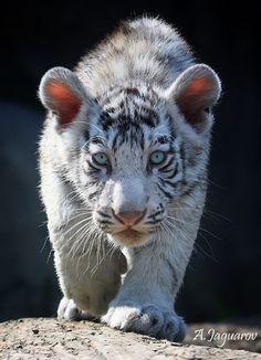 ~~ Meow by Jaguarov ~~