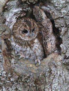 tiny-creatures:   Tawny Owl by Celia Todd    Via Flickr: At Mid Wales Falconry