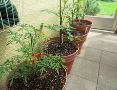 Tomato Tips from Mr. B - My Sweet Cottage