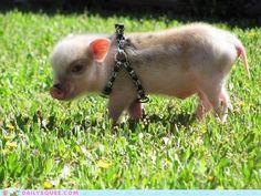 Punk Rock Piggy