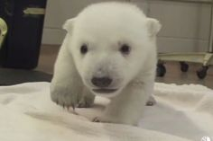 Baby polar bear takes first steps