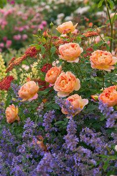 HOME & GARDEN: 40 inspirations pour un jardin  anglais + idées d'association au pied d'un rosier buisson (nepeta, achillée...)