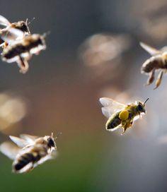 Honey Bees ~ Look... he's got his hands full of pollen. #MrBowerbird