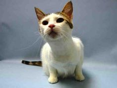 PRINCESS - A1046269 - - Brooklyn ***TO BE DESTROYED 08/17/15*** ANOTHER CHANCE FOR THIS HEADBUTTING SWEETHEART WITH A NEAR-PERFECT BEHAVIOR RATING -AND IS NOW EVEN OVER HER COLD AND HEALTHY – PLEASE GRANT PRINCESS A DEATH ROW PARDON!!! Pretty brown tabby and white girl PRINCESS, seven years young, was sadly surrendered into the kill-happy ACC due to PERSONAL PROBLEMS. At home, Princess was PURRfect: Princess is relaxed and affectionate toward adults.. Princess lived