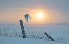 Northof49Photography:カナダ鳥類 - シロフクロウ