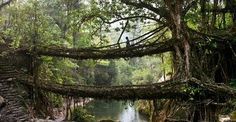 A living bridge. On BBC's Human Planet, they explain how the locals of Nongriat in Meghalaya, India have been making foot bridges out of tree roots for the past 500 years by using hollowed out betel nut trunks to guide the direction of the roots' growth.