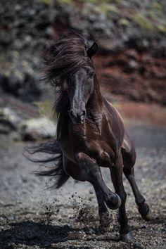 Icelandic Black Stallion II by Panoramic Images - canvas print