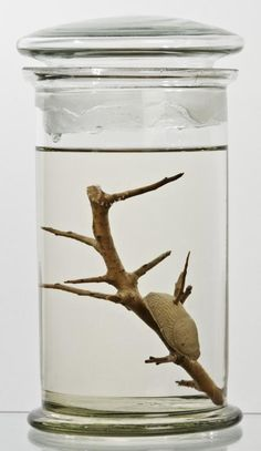 Slug impaled on a thorn, a cure for warts. Donated by Thomas James Carter 1898.71.1. Pitt Rivers Museum, Oxford.