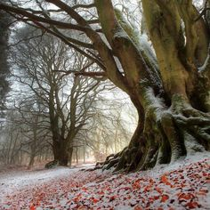 Winter Beech by Angus Clyne (Flickr)