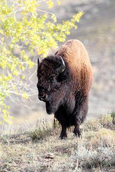 Bison Bison by Megan Lorenz on 500px