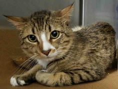 MISH MISH - A1077932 - - Manhattan  Please Share:   ***TO BE DESTROYED 06/23/16*** MISH MISH is a sweet and handsome little brown and white tabby who is 4 years old. MISH MISH lived with the same owner for his whole life and now sadly was brought to the shelter because his owner got evicted. How sad for MISH MISH to lose his owner and his home! To make matters worse, this poor sweetheart is on the list for lethal injection at the shelter. MISH MISH is friendly, but shy arou