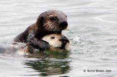 picture of baby sea otter | Recent Photos The Commons Getty Collection Galleries World Map App ...