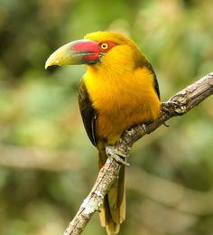 Foto araçari-banana (Pteroglossus bailloni) por J. Laércio Junqueira | Wiki Aves - A Enciclopédia das Aves do Brasil