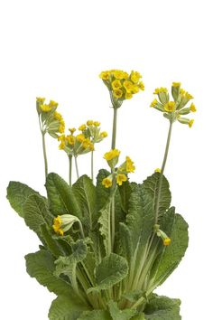 Yellow flowering Primula veris photo by picturepartners on Envato Elements Spring Activities, Activities For Kids, Elements Of Art, Medicinal Plants, Social Media Graphics, Yellow Flowers, Plant Leaves, Bloom, Clip Art