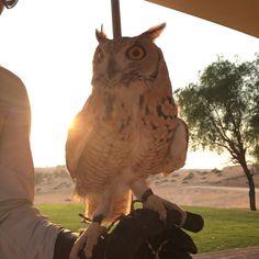 In den Arabischen Emiraten begegnete mir diese Eule in einer Falcon Show. Wie mir die Show. Wer Urlaub in den Vereinigten Arabischen Emiraten macht, sollte einen Abstecher in die Wüste einplanen.