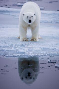Polar Bear Reflection by Brice Petit