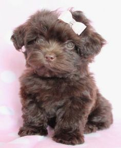 Angelic Yorkie Poo Puppy