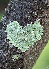Coeur de lichen